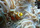 anemonenfisch-zella-mehlis