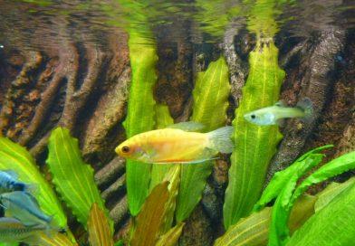 goldener-fadenfisch-2