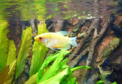 goldener-fadenfisch-3