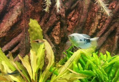 marmorierter-fadenfisch-1