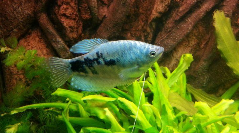 marmorierter-fadenfisch-2